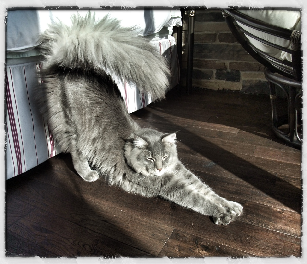 Chamanie - maine coons...